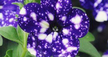 petunia-universe-1
