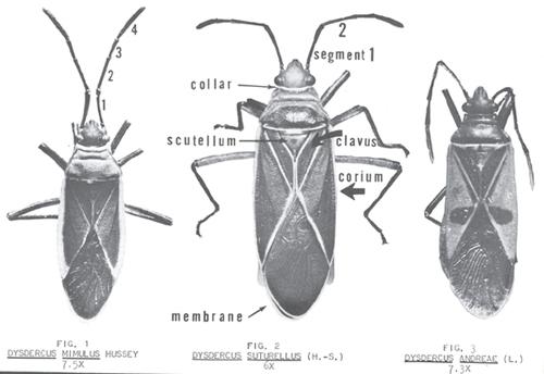 cotton stainer - Dysdercus suturellus (Herrich-Schaeffer)