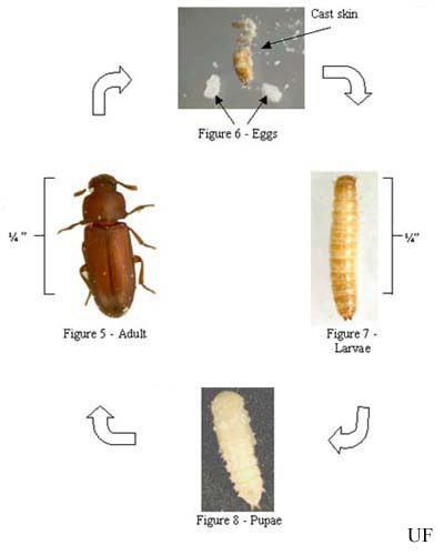 red and confused flour beetles - Tribolium Spp