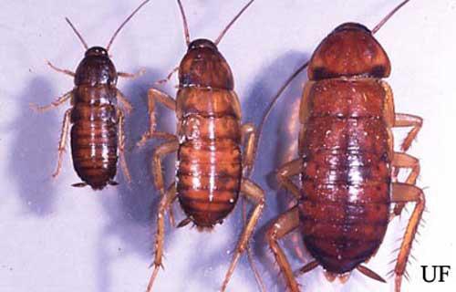 American cockroach - Periplaneta americana (Linnaeus)