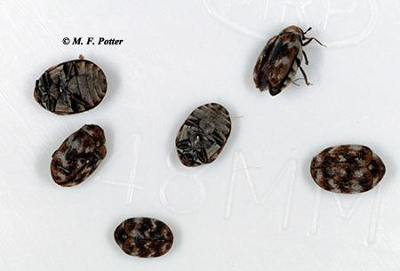 Carpet Beetles Entomology