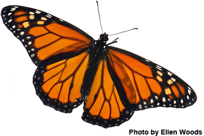 Anurag 3d Wallpaper Lack Of Milkweed Is Not Harming Monarch Butterfly Populations