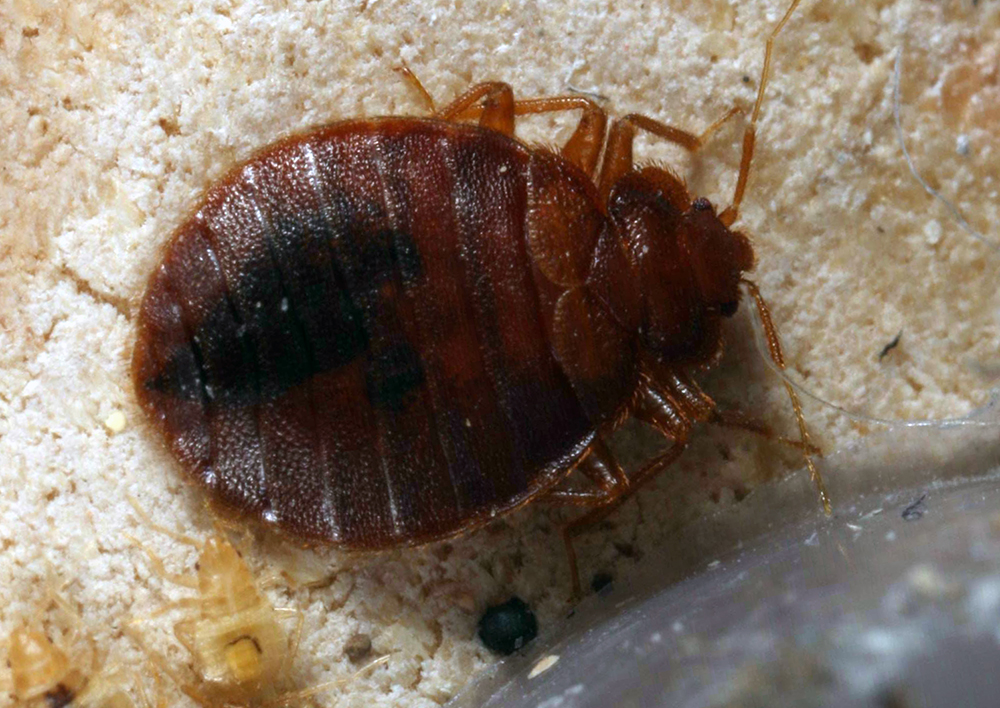 bed bugs Archives - Entomology Today