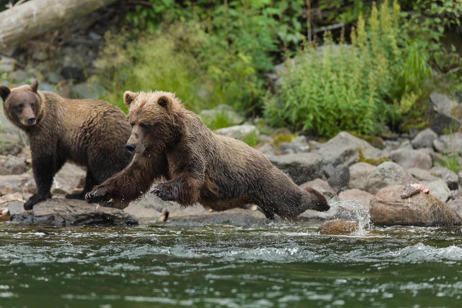 Live Niagara Falls Wallpaper Grizzly Bear Viewing At Nakina River Luxury Travel Tour
