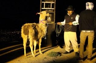 lama-solstice-bolivie