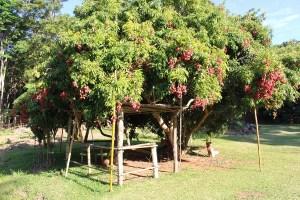 arbre-litchi-nouvelle-caledonie
