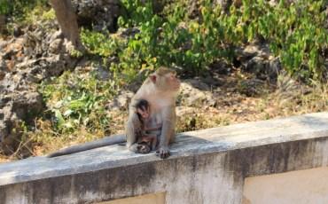 bebe-singe-petchaburi