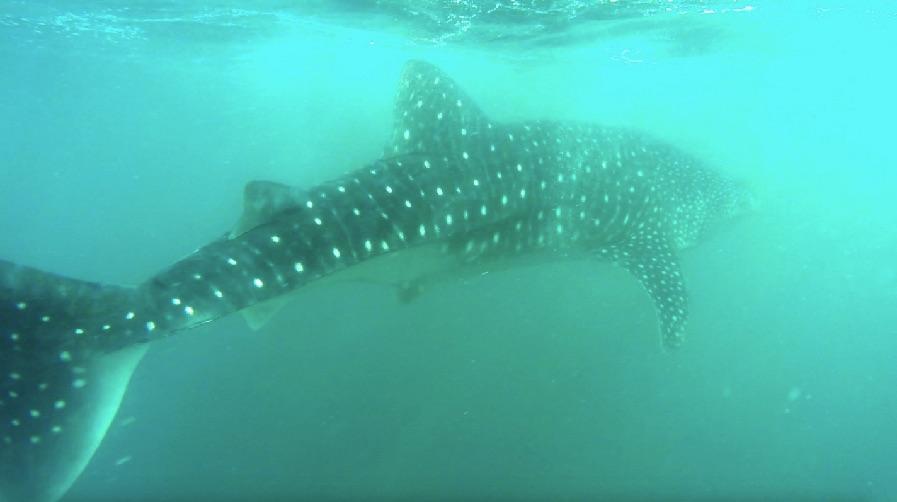 requin-baleine-donsol
