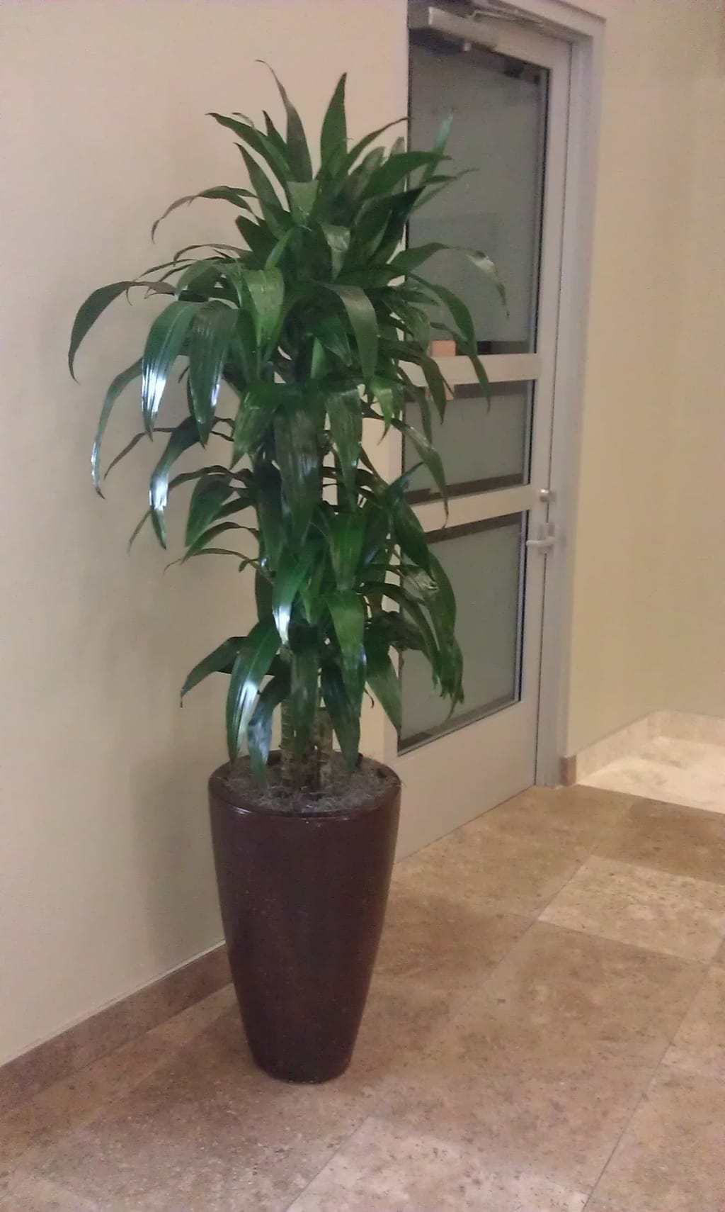 Tall Live Indoor Plants Wellesley Interior Landscaping And Office Plant Company