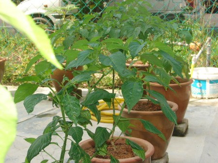 Tanam Sayuran Dalam Pasu