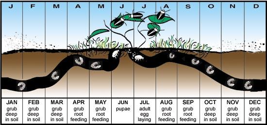 japanese beetles life cycle