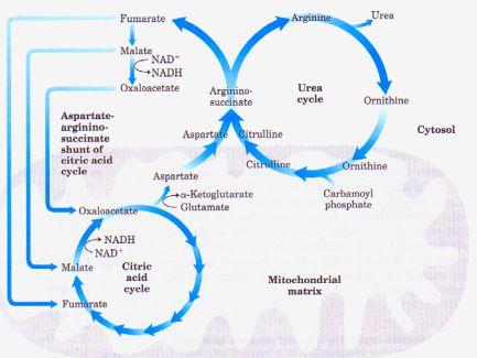 Urea Cycle and Defects with Mnemonics Epomedicine - urea cycle