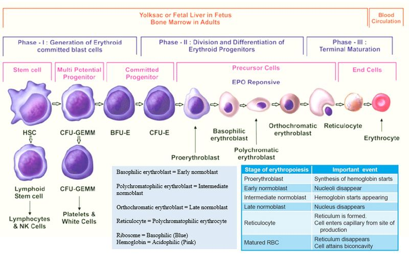 Erythropoiesis Simplified Epomedicine