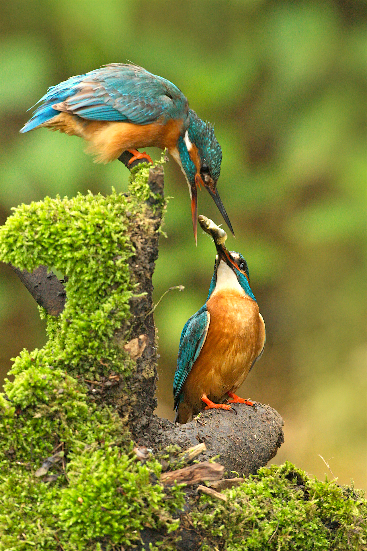 Kingfisher-Alcedo atthis on perch near nesting site in The netherlands