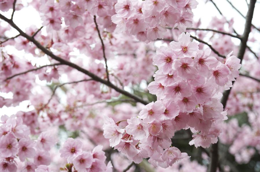 Cerezo Japonés un Árbol Elegante y Fácil de Cuidar Ideas Decoradores