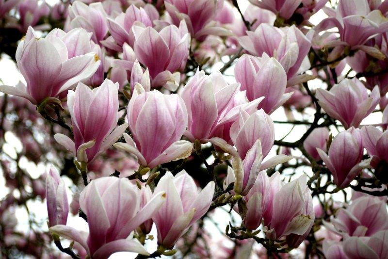 Warum Du im Frühling nach Stuttgart solltest: Magnolienblüte in der Wilhelma