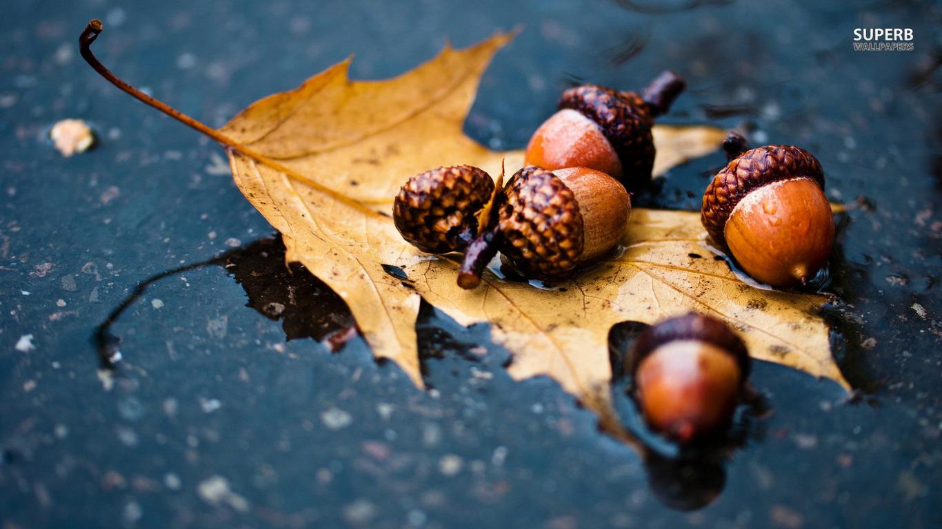 Frosty Fall Leaves Wallpaper Acorn Wallpaper 1366x768 81346