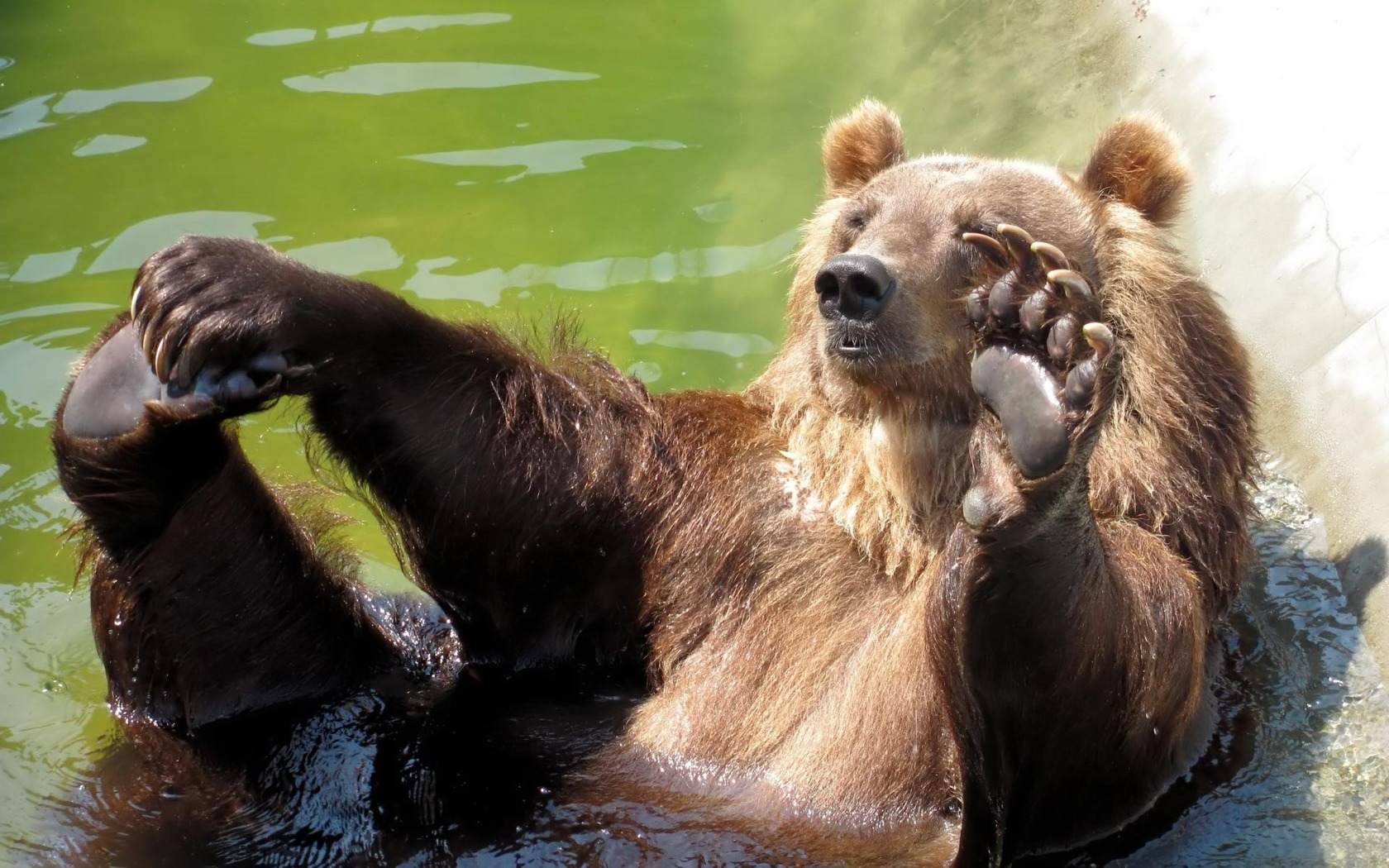 Animated Underwater Wallpaper Bathing Bear Wallpaper 1680x1050 11560