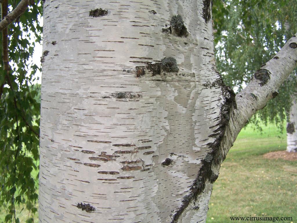 Falling Leaves Live Wallpaper Download Birch Tree Wallpaper 1024x768 5676