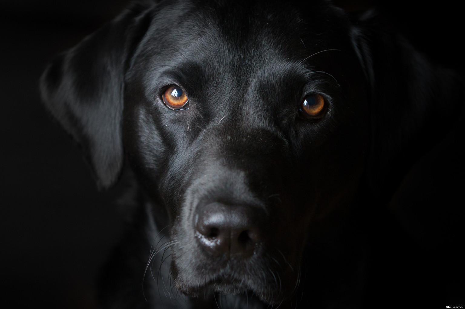 Beautiful Girl Face Hd Desktop Wallpaper Black Dog Wallpaper 1536x1023 84592
