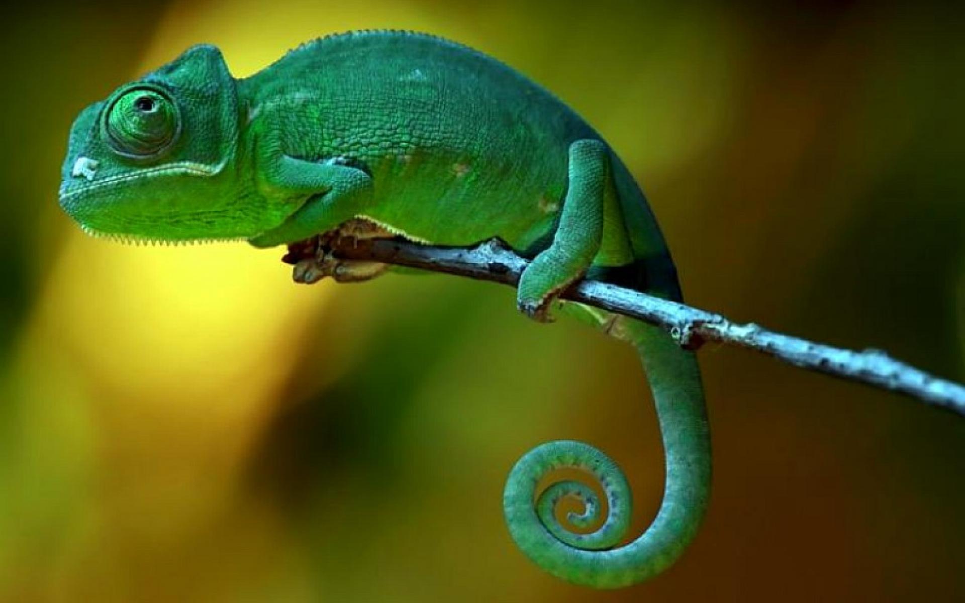 3d Frog Wallpaper Chameleon Branch Wallpaper 1920x1200 12210