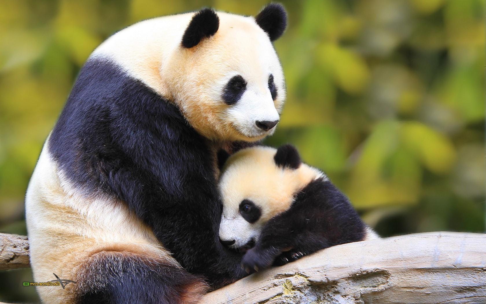 Cute Baby Girl Wallpaper For Desktop Full Screen Cute Baby Panda Wallpaper 1680x1050 58292