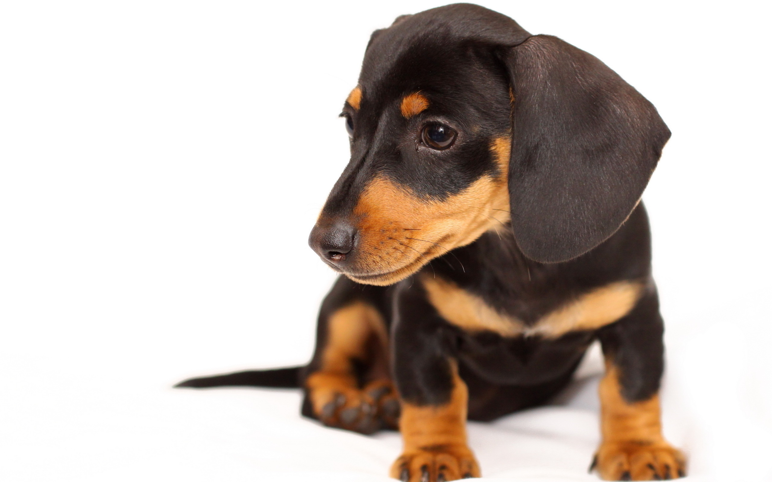 Super Cute Little Baby Wallpapers Doxie Puppy Wallpaper 2560x1600 12822