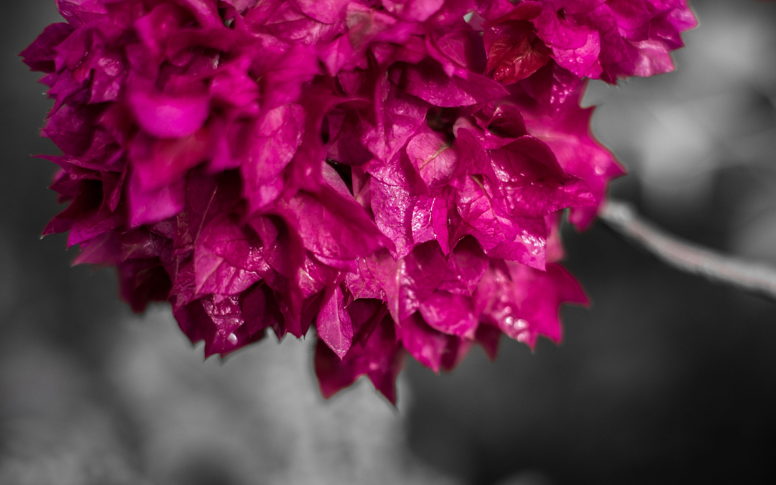 Bougainvillea Wallpaper Free Bougainvillea Wallpaper 2560x1600 23058
