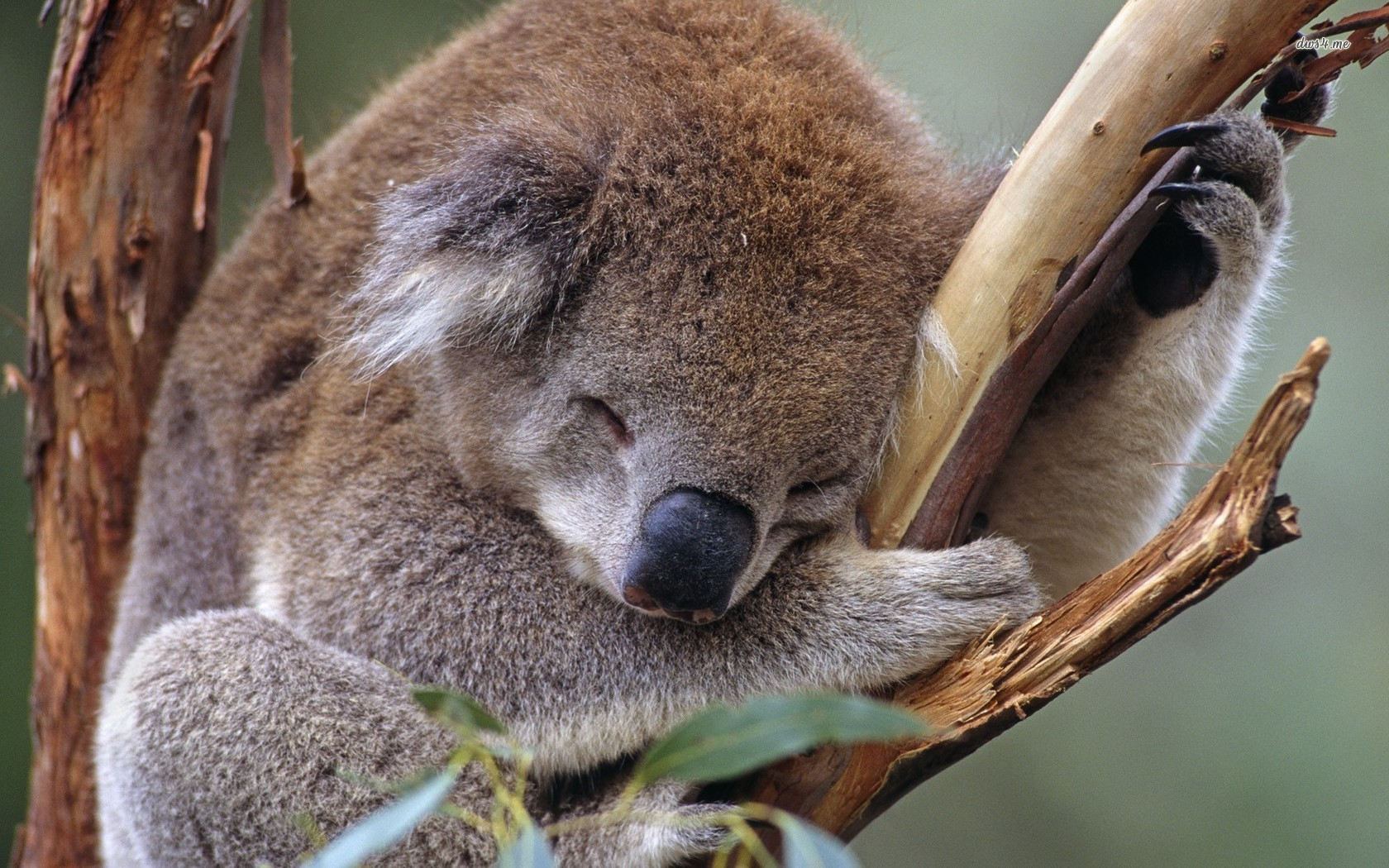 Cute Baby Animal Pictures Wallpapers Koala Wallpaper 1680x1050 46355
