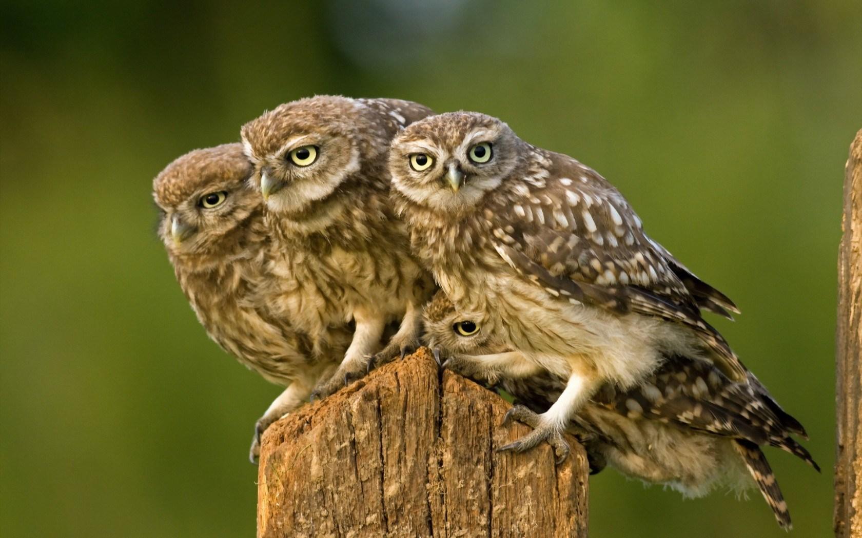 Cute Christmas Owl Desktop Wallpaper Nature Bird Owl Wallpaper 1680x1050 13827