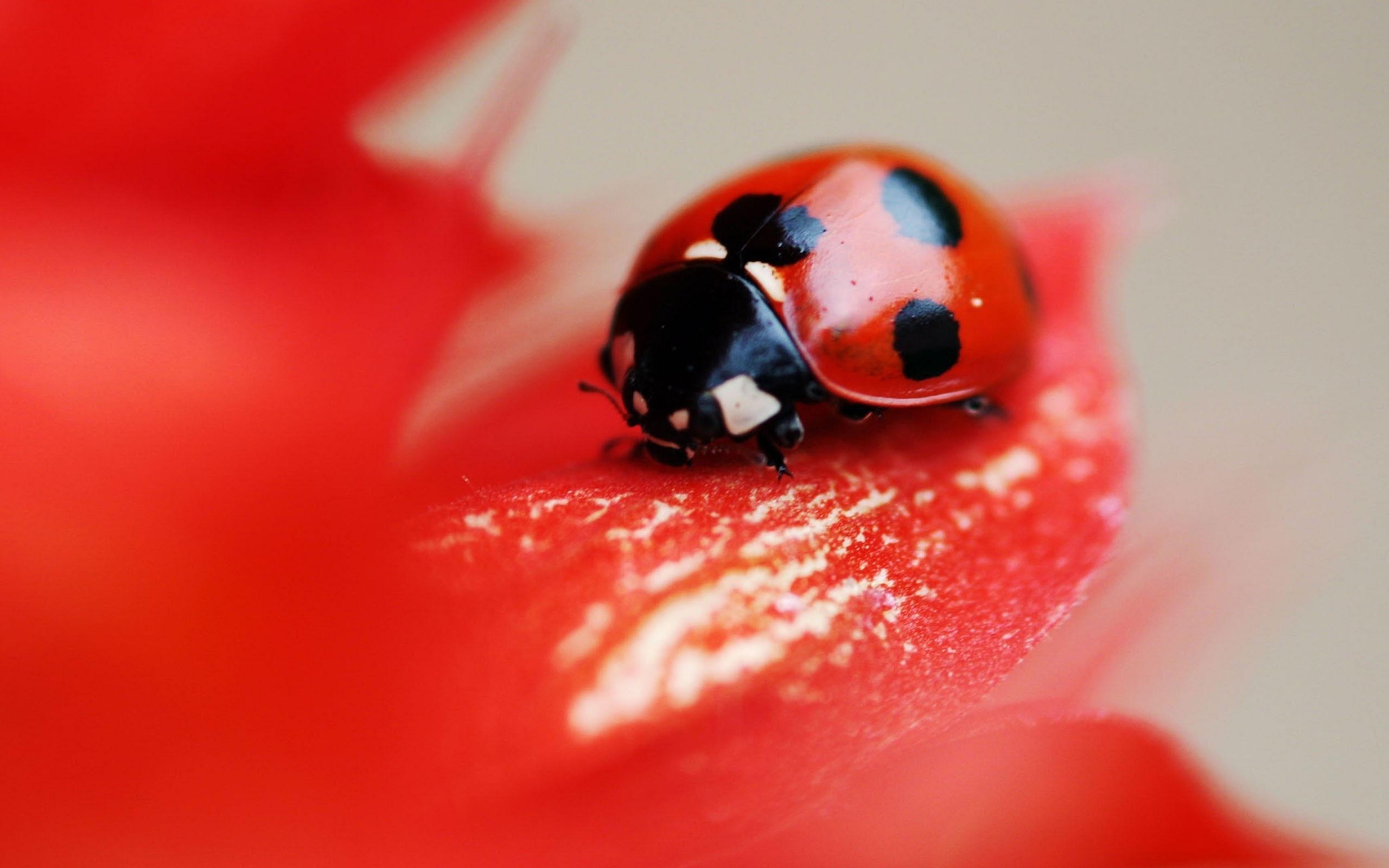 Cat Wallpaper 3d Red Ladybug Wallpaper 2560x1600 14095