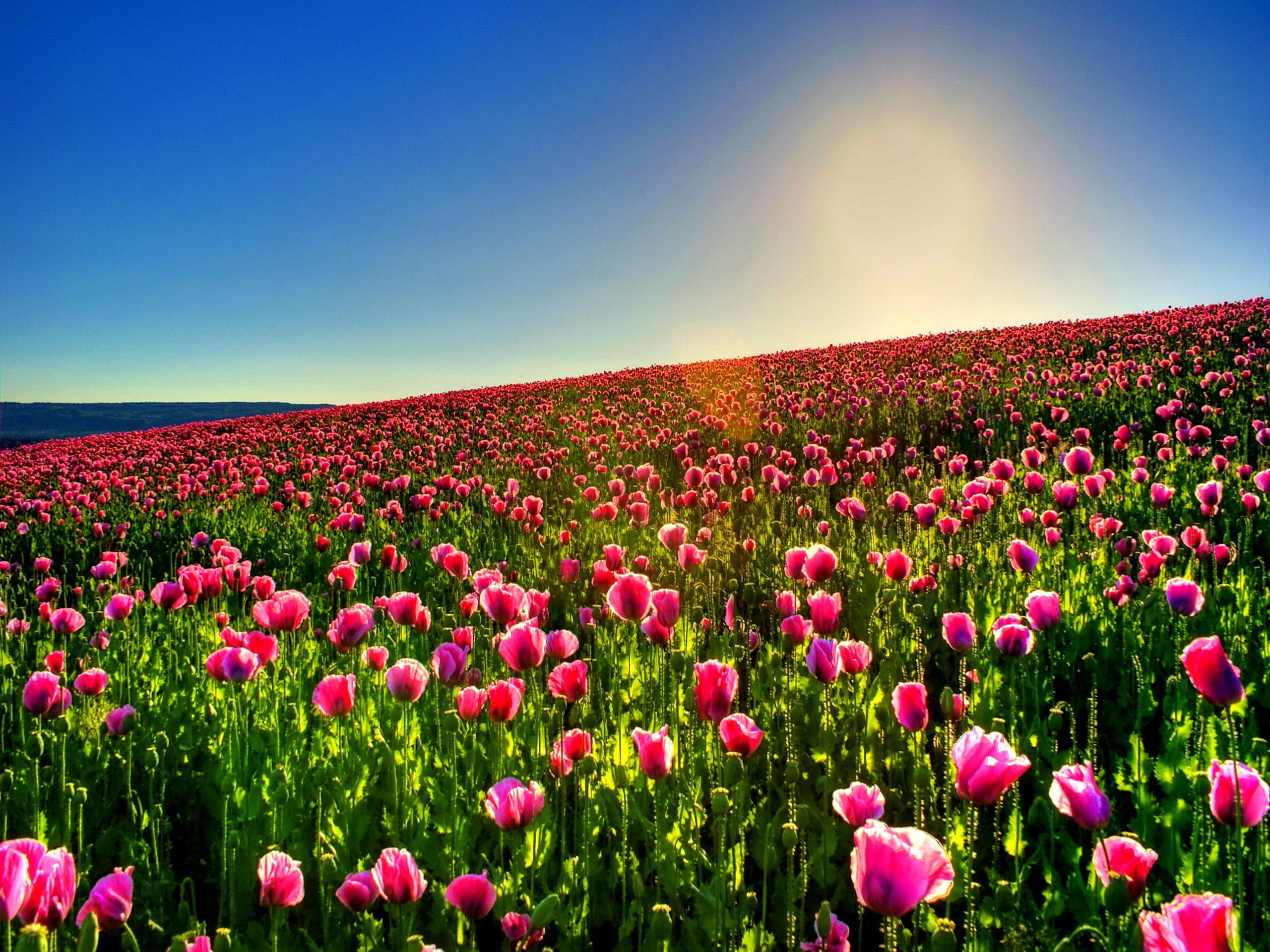 Orange Fall Peonies Wallpaper Tulip Field Hd Wallpaper 2560x1920 23638