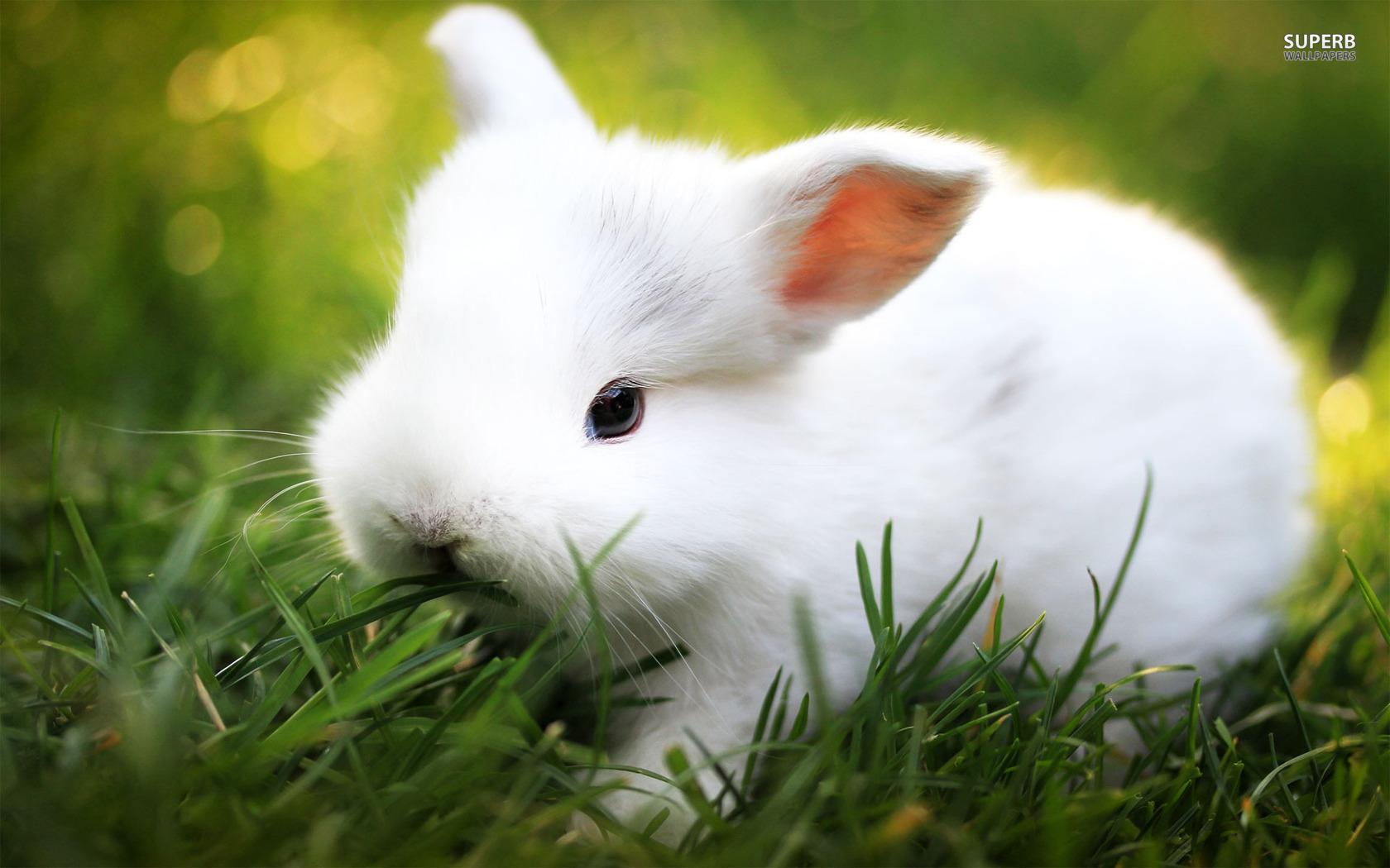 Cute White Baby Rabbits Wallpapers White Rabbit Wallpaper 2160x1920 84582