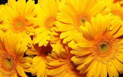 Yellow Flower wallpaper | 1920x1200 | #42600