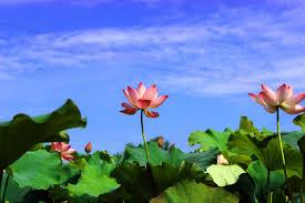 Lotus_images