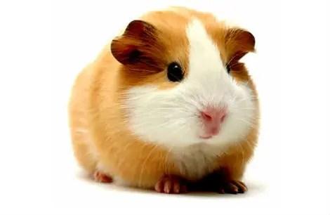 Você toparia comer porquinho-da-índia? No Peru é um prato comum