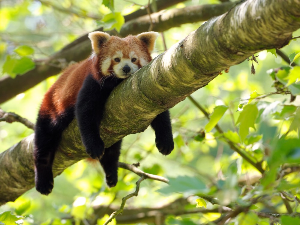 Cute Baby Animal Pictures Wallpapers Fotos Animales Entra 241 Ables Panda Rojo