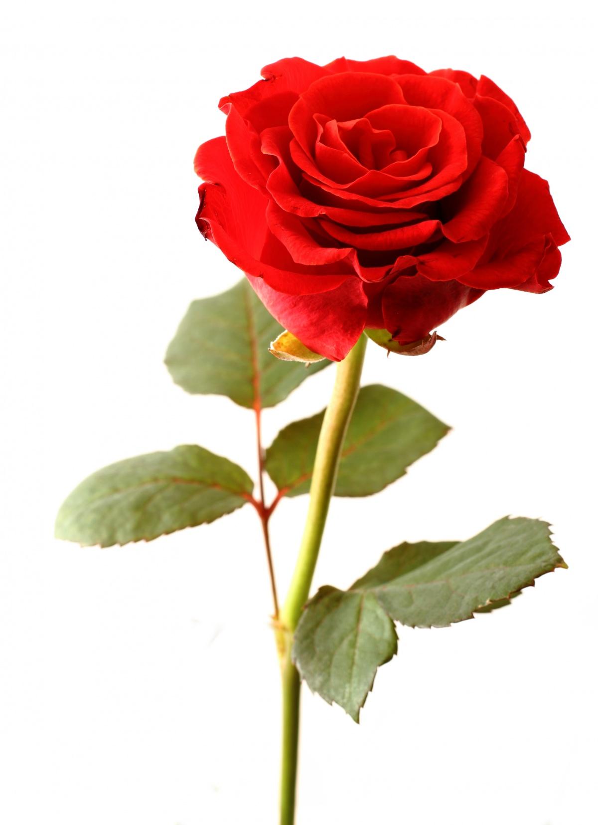 Single Rose Wallpaper Hd Rosa Flor Www Imgkid Com The Image Kid Has It