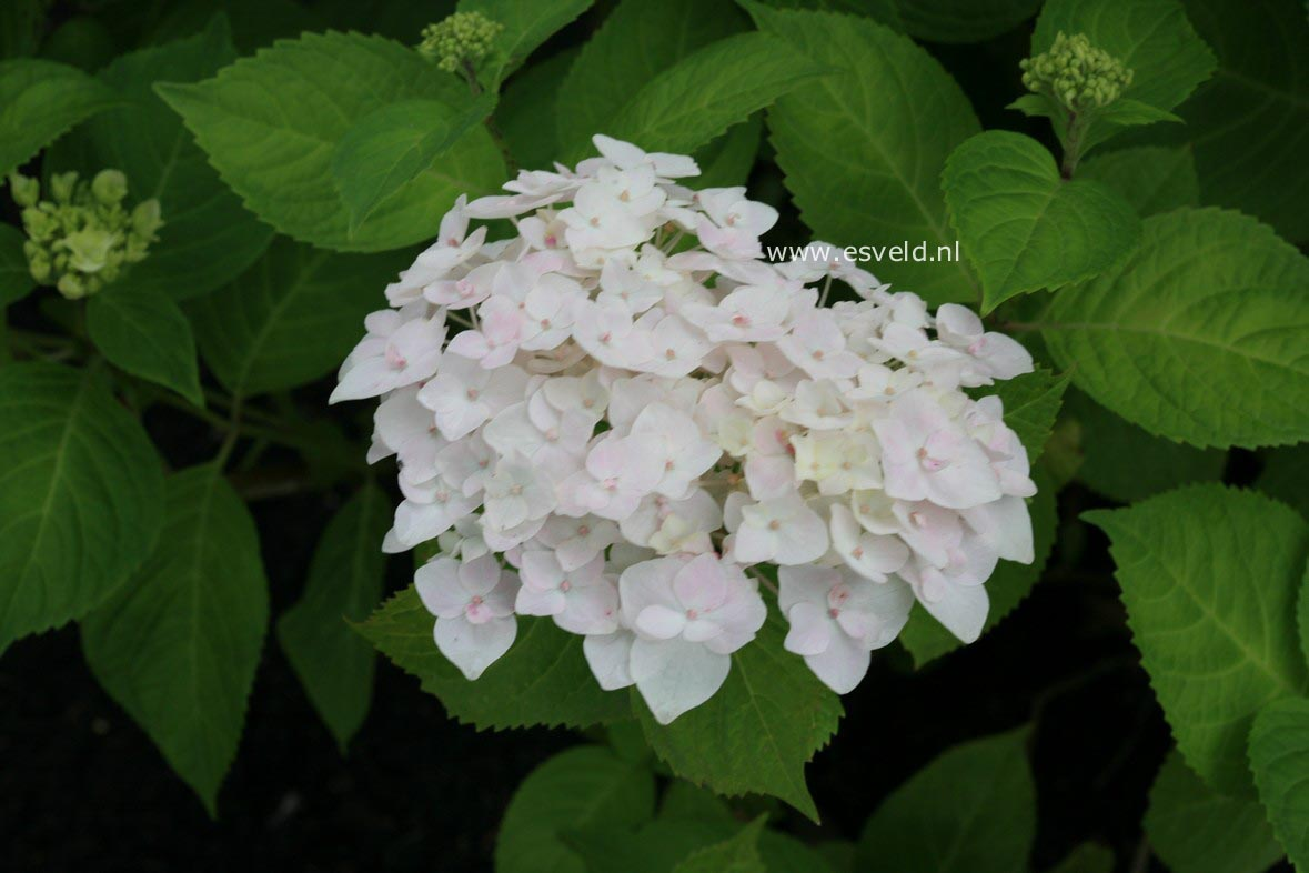 Hortensia Endless Summer Kopen Hydrangea Macrophylla The Bride Endless Summer