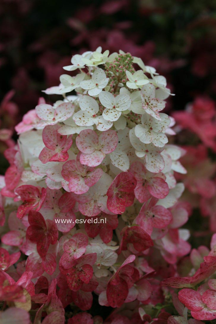 Hortensia Endless Summer Kopen Magical Flame Hydrangea Garden Design Ideas