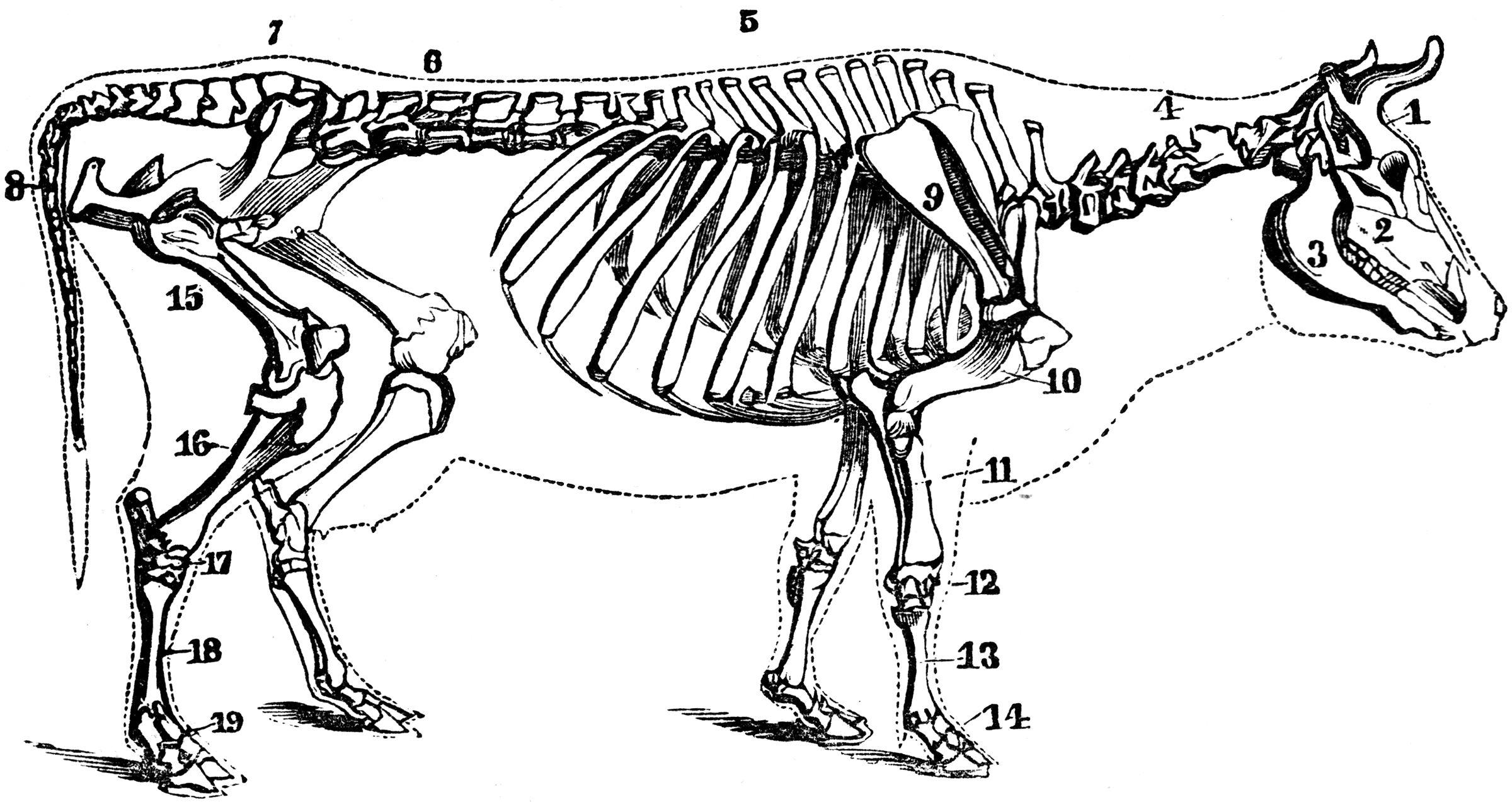 ham bone diagram