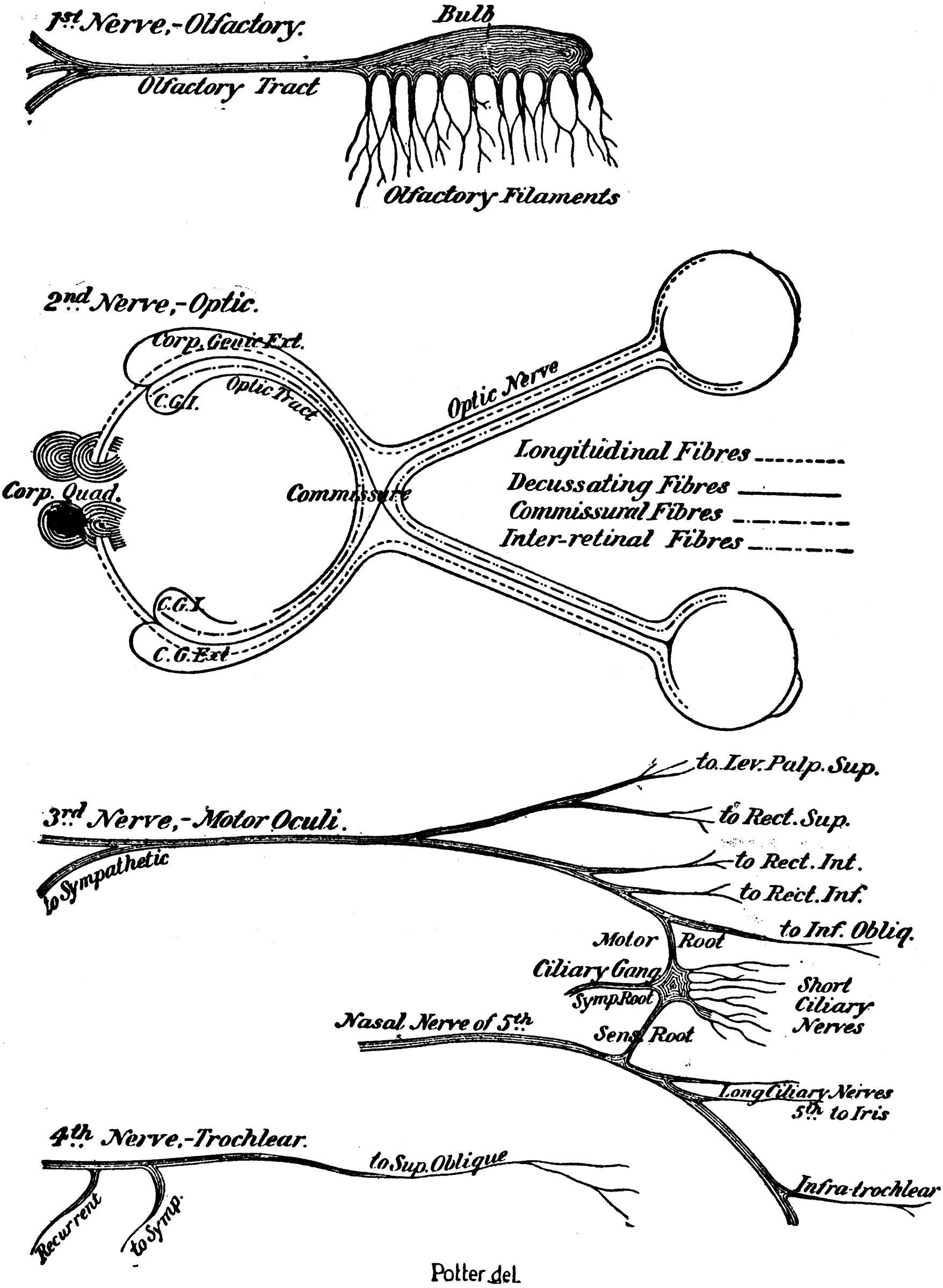 diagram of olfactory nerve