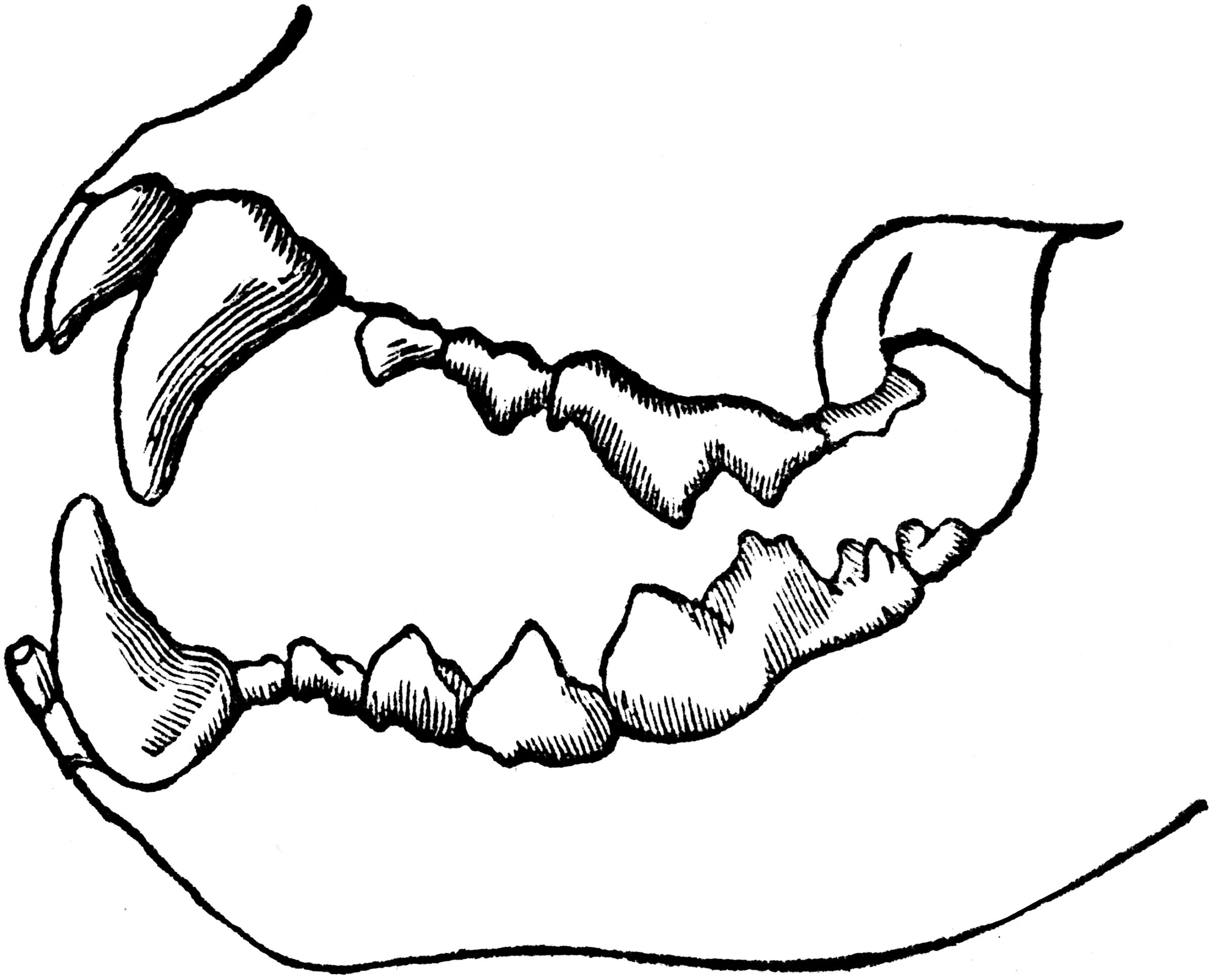 diagram of dentition