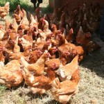 The Chickens and Goats of Uganda's Internet