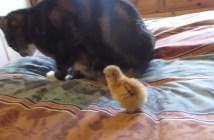 猫とヒヨコ