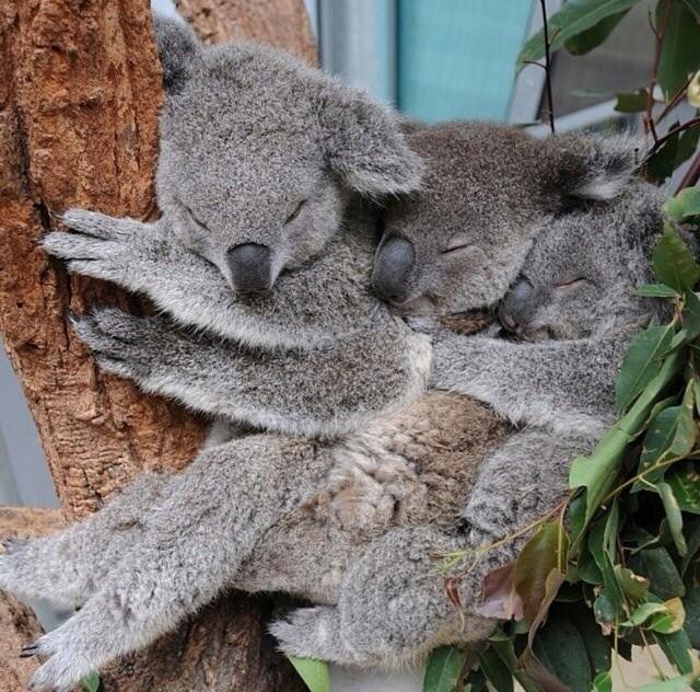 みんなで仲良く眠るコアラ