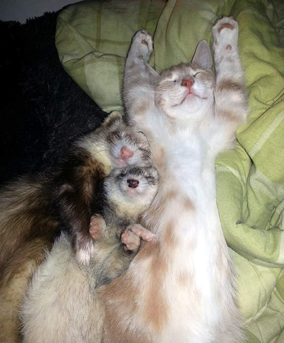 フェレットと猫
