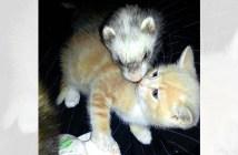 フェレットと子猫
