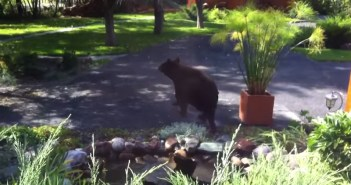水浴びをするクマの親子
