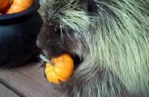 カボチャを食べるヤマアラシ